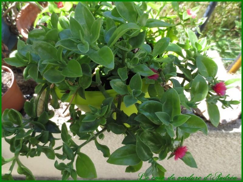 Plante grasse exterieur vivace 28 images plante for Plante grasse pour exterieur