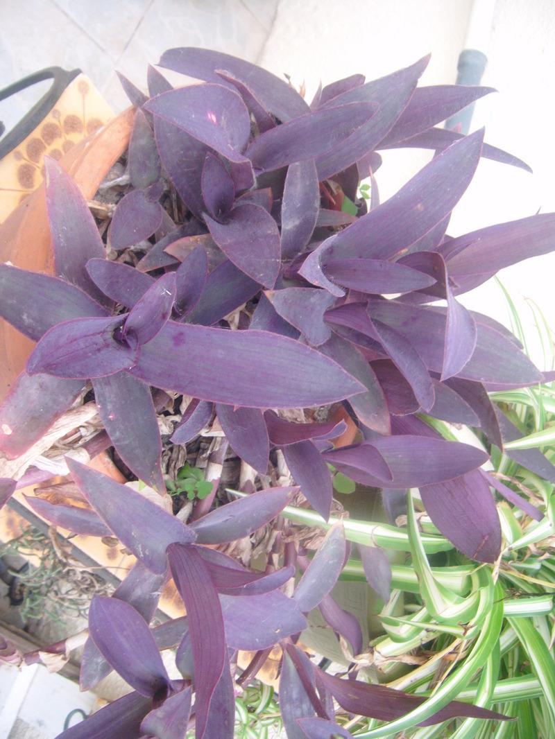 Mis re ou ph m re tradescantia fluminensis - Plante interieur facile entretien ...