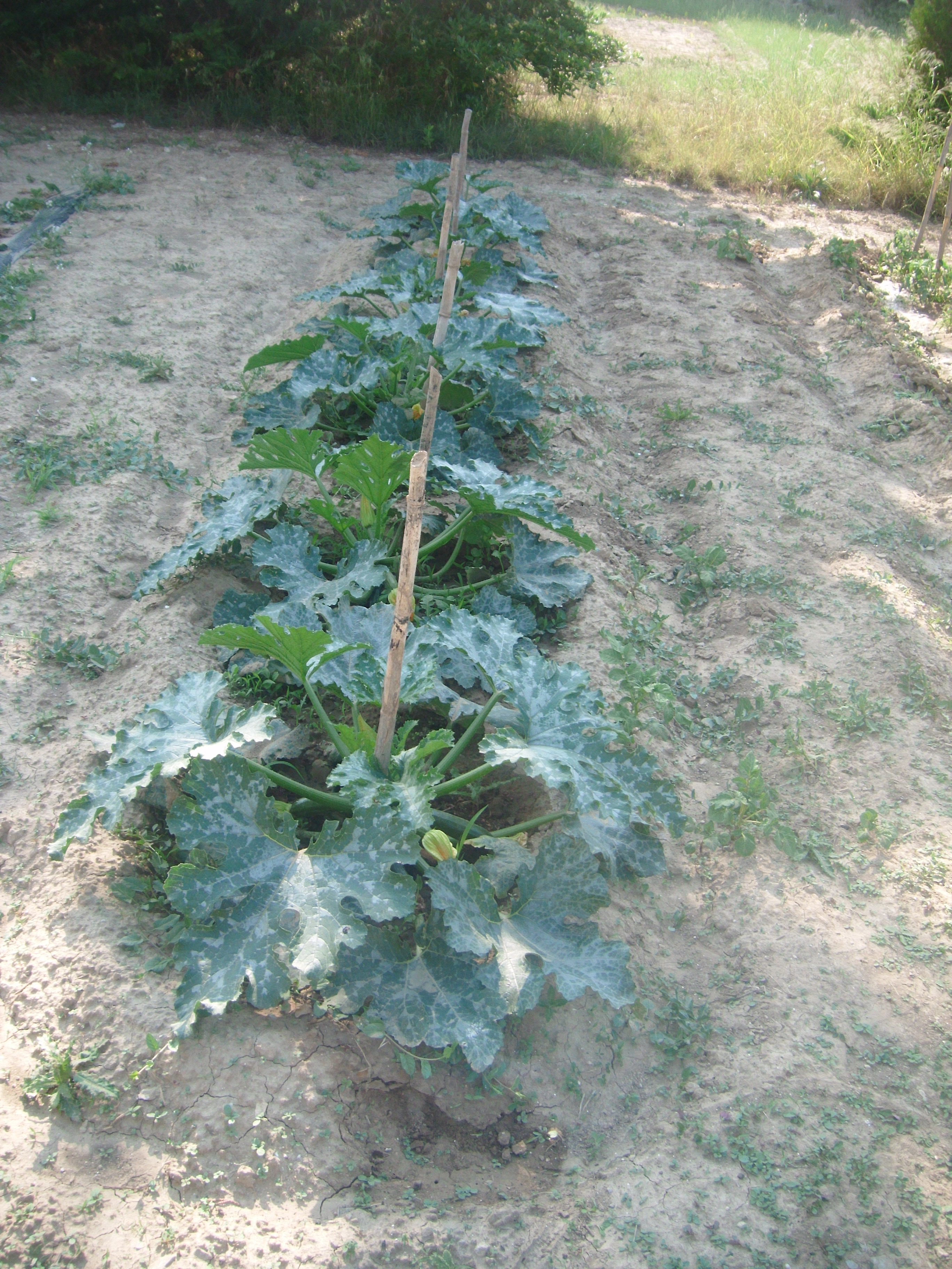 Jardin potager 3 - Congeler les haricots verts du jardin ...