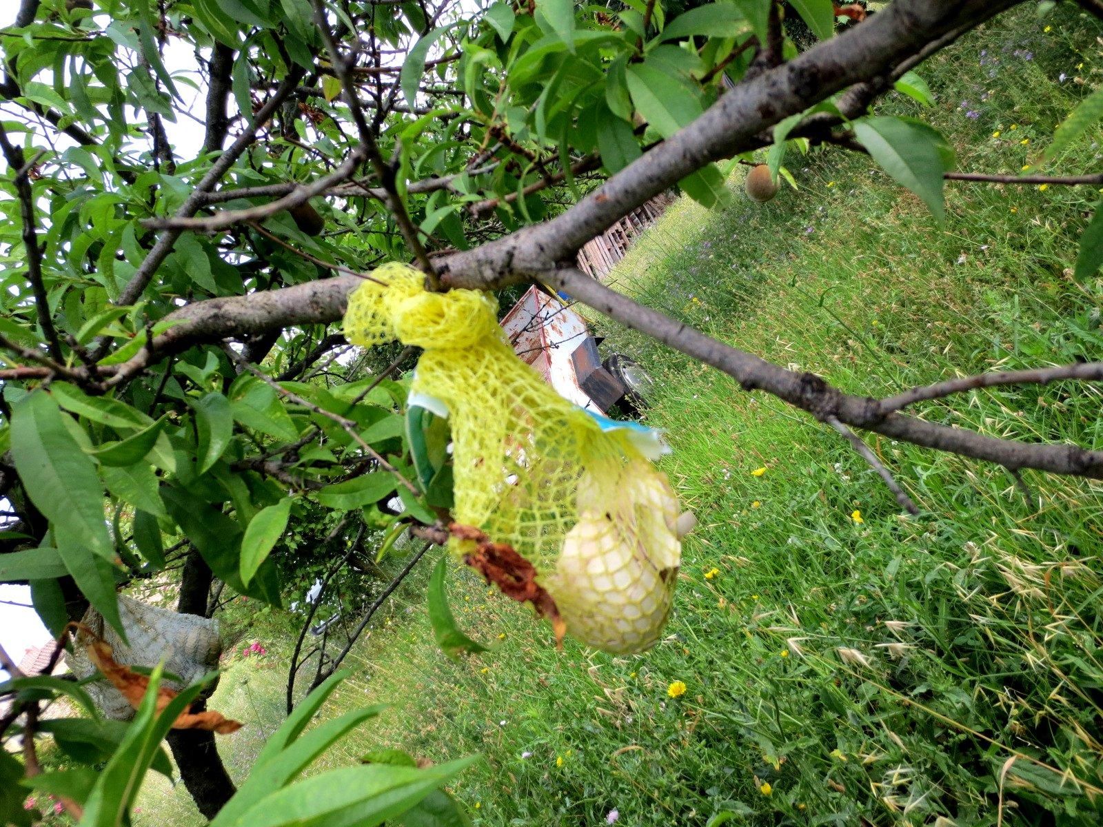 Jardin au mois de juillet 2015 - Cloque du pecher coquille d oeuf ...