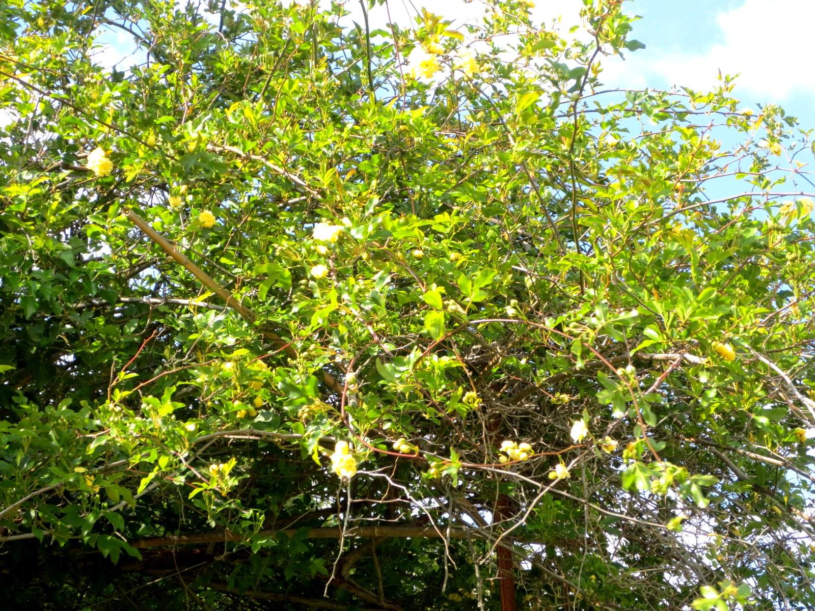 Jardin avril 2016 fleurs de cerisier tara for Jardin d aywiers 2016