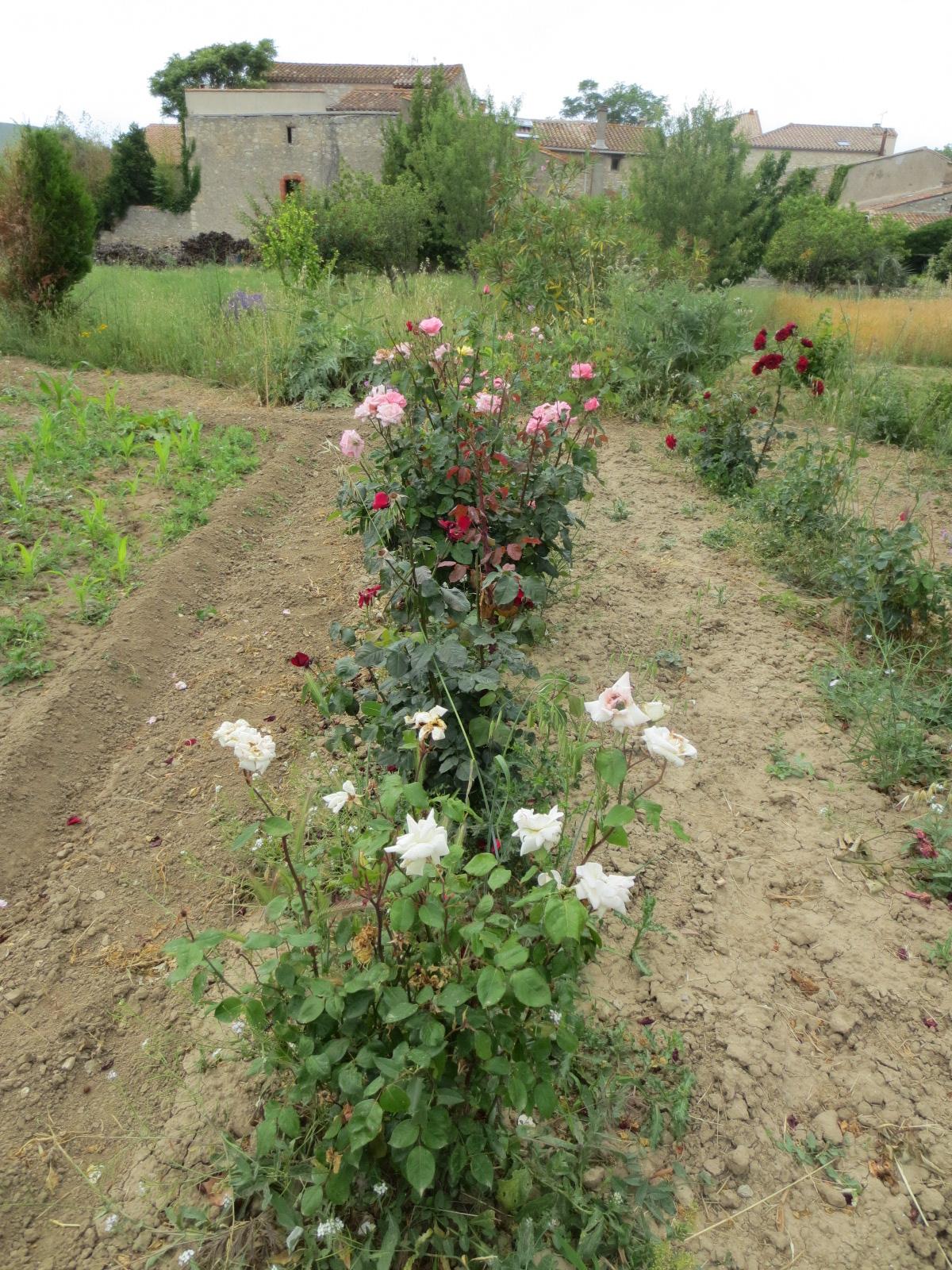 Le jardin roses et rosiers for Jardin roses